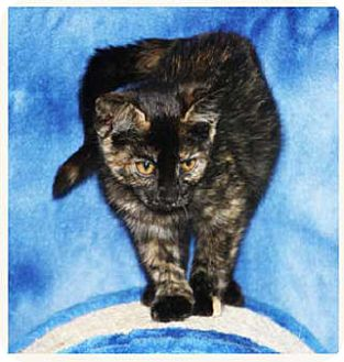 Domestic Shorthair Kitten for adoption in South Bend, Indiana - Harmony
