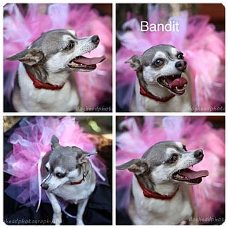 Chihuahua Mix Dog for adoption in Fort Worth, Texas - Bandit