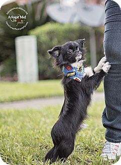 Pekingese/Chihuahua Mix Dog for adoption in Portland, Oregon - CALEB - SIMPLY ADORABLE
