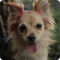 Chihuahua/Pomeranian Mix Dog for adoption in Encino, California - Pebbles