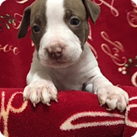 American Staffordshire Terrier/American Pit Bull Terrier Mix Puppy for adoption in San Diego, California - Aayla