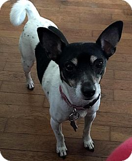 Jack Russell Terrier Mix Dog for adoption in Elyria, Ohio - Penny