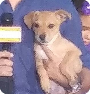 Terrier (Unknown Type, Medium)/Chihuahua Mix Puppy for adoption in Oakland Park, Florida - Dana