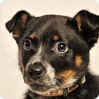 Adopt A Pet :: Leland - Nanuet, NY