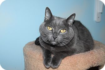 Domestic Shorthair Cat for adoption in North Branford, Connecticut - Baby