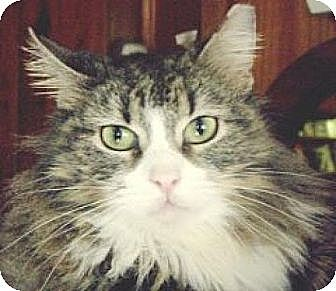 Domestic Longhair Cat for adoption in Miami, Florida - Mallory