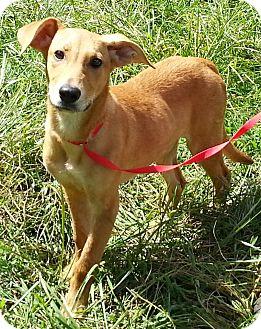 Labrador Retriever/Sheltie, Shetland Sheepdog Mix Puppy for adoption in Orlando, Florida - Georgia