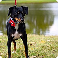 Adopt A Pet :: Dottie - Nashville, TN