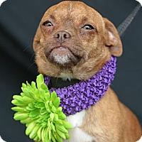 Adopt A Pet :: Coy - Plano, TX