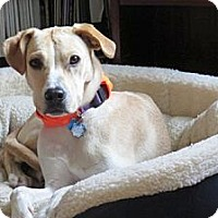 Adopt A Pet :: Patch - Cheshire, CT