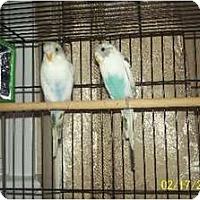 Adopt A Pet :: Baby Parakeets - Secaucus, NJ