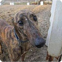 Adopt A Pet :: Cedar (MB Cedar Key) - Chagrin Falls, OH