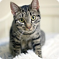 Domestic Shorthair Cat for adoption in Fairfax Station, Virginia - Tippy