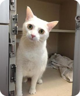 Domestic Shorthair Cat for adoption in Denver, Colorado - Lulu