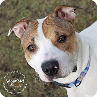 American Pit Bull Terrier Mix Dog for adoption in Lyons, New York - Posie