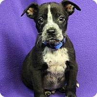 Adopt A Pet :: Ciro - Westminster, CO