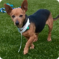 Chihuahua Mix Dog for adoption in Whitestone, New York - Trixie (Cali 15)