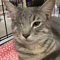 Domestic Shorthair Kitten for adoption in Cocoa, Florida - Sunshine