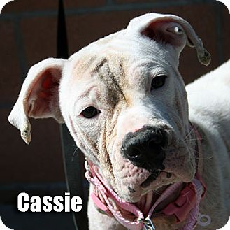 Boxer Dog for adoption in Encino, California - Cassie