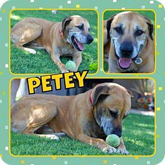 Labrador Retriever/Coonhound Mix Dog for adoption in Scottsdale, Arizona - Petey