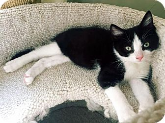 Domestic Shorthair Kitten for adoption in Toronto, Ontario - Nod