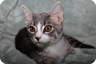 Domestic Shorthair Kitten for adoption in Youngsville, North Carolina - Zeus