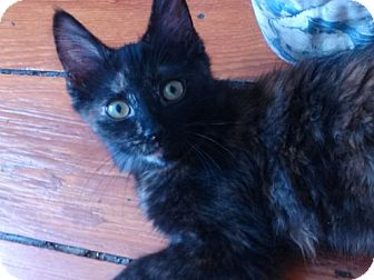 Domestic Mediumhair Kitten for adoption in Darby, Pennsylvania - Keilani