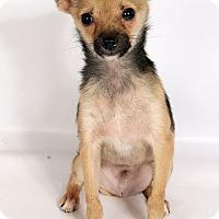 Adopt A Pet :: Gerald Chi - St. Louis, MO