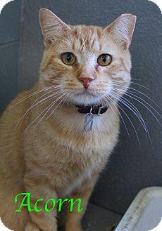 Domestic Shorthair Cat for adoption in Bradenton, Florida - Acorn