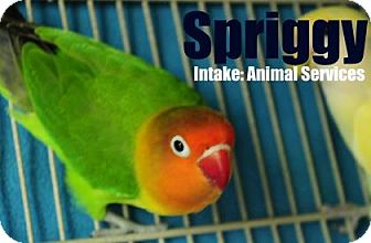 Lovebird for adoption in Hamilton, Ontario - Spriggy