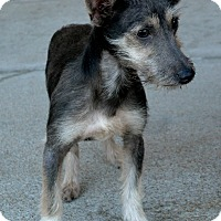 Schnauzer (Miniature) Dog for adoption in Bridgeton, Missouri - Max-Adoption pending
