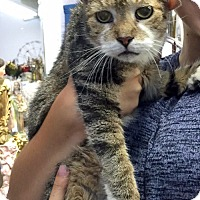 Adopt A Pet :: Joey the Sweet-as-Sugar Senior - Brooklyn, NY