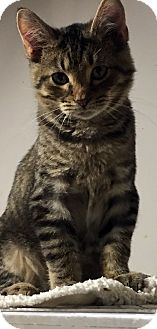 Domestic Shorthair Kitten for adoption in Loogootee, Indiana - Dino
