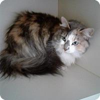 Calico Cat for adoption in Idaho Falls, Idaho - Bedo