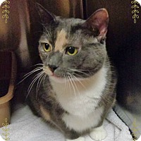 Domestic Shorthair Cat for adoption in Marietta, Georgia - ALAINA