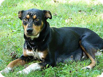 Australian Kelpie/Manchester Terrier Mix Dog for adoption in Bardonia, New York - Blessing