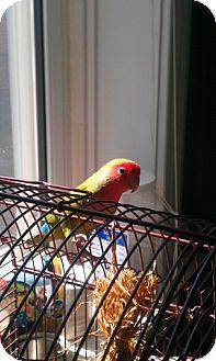 Lovebird for adoption in St. Louis, Missouri - Watermelon