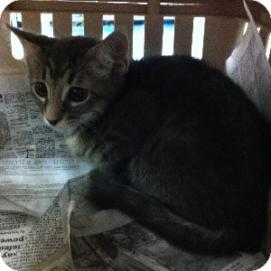 Domestic Shorthair Kitten for adoption in Gilbert, Arizona - Montana