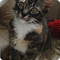 Adopt A Pet :: Gizmo - Delray Beach, FL