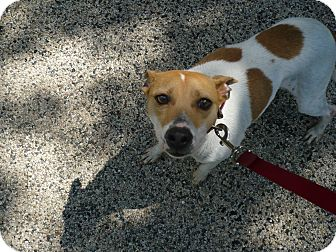 Jack Russell Terrier/Terrier (Unknown Type, Medium) Mix Dog for adoption in Wisconsin Dells, Wisconsin - Lucky Dawg