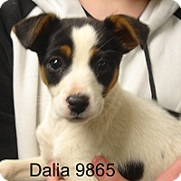 Adopt A Pet :: Daila - baltimore, MD
