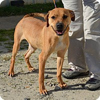 Adopt A Pet :: Toffee - Boston, MA