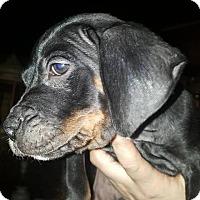 Adopt A Pet :: Jacob - Tomah, WI