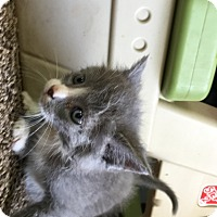 Adopt A Pet :: Gray/white paws - Troy, OH