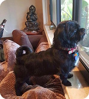 Havanese Mix Dog for adoption in Brooksville, Florida - Binky