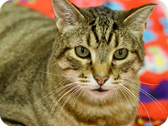 Domestic Shorthair Cat for adoption in Great Falls, Montana - Ansel