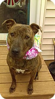 Hound (Unknown Type)/American Staffordshire Terrier Mix Dog for adoption in North Creek, New York - Crystal Sweet Girl Waiting for a Home