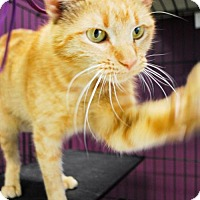 Adopt A Pet :: Shortcake - Maple Grove, MN