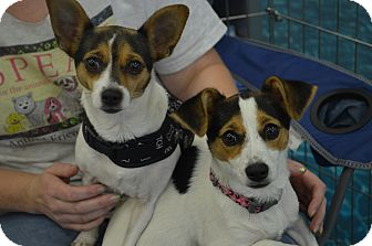 Rat Terrier Mix Dog for adoption in Lodi, California - Mama-Mia