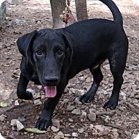 Labrador Retriever/Basset Hound Mix Puppy for adoption in Rochester, New York - Kopa